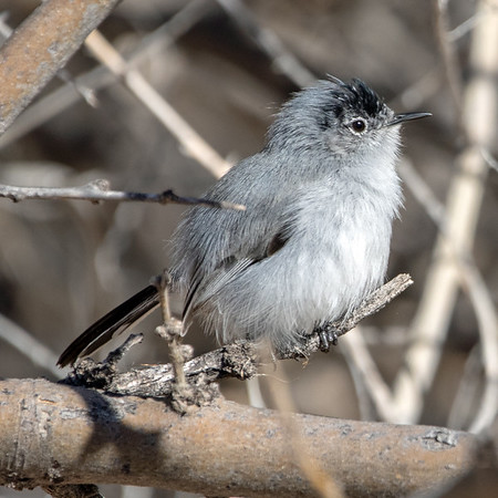 2019-02-18  Black-tailed Gnatcatcher (male)