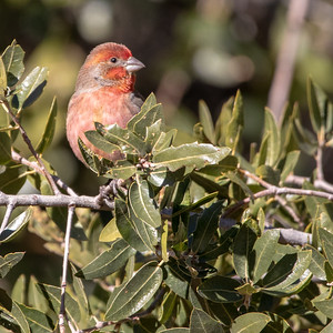2020-12-13  House Finch