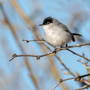 2019-03-17  Black-capped Gnatcatcher