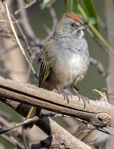 2020-02-02  Green-tailed Towhee
