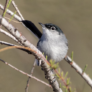 2019-03-16  Black-capped Gnatcatcher