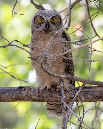 2020-06-13  Great Horned Owl