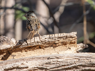 2020-02-02  Lincoln's Sparrow