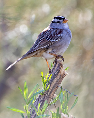 2020-12-12  White-crowned Sparrow