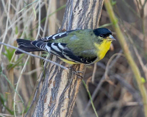 2020-12-12  Lesser Goldfinch (male)