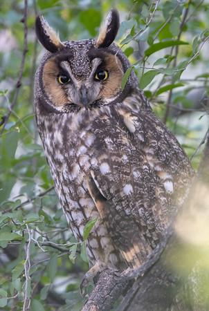 2020-01-12  Long-eared Owl