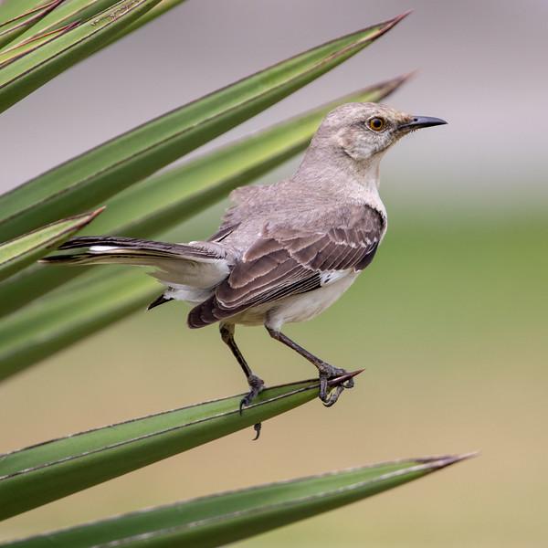 2020-04-21  Northern Mockingbird