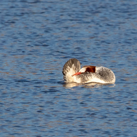2020-01-19  Common Merganser (female)