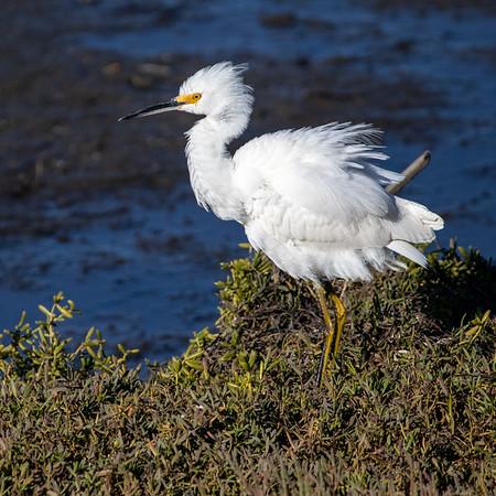 2020-11-28  Snowy Egret