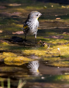 2018-01-28  Yellow-rumped Warbler