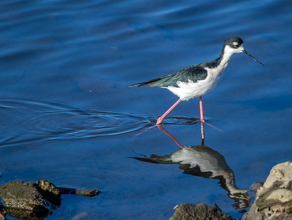 2020-11-28  Black-necked Stilt