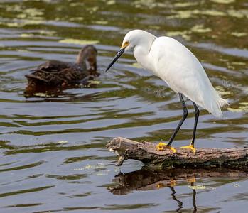 2020-04-22  Snowy Egret