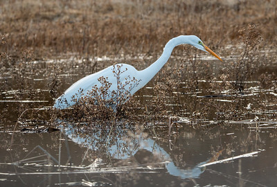 2018-01-14  Great Egret