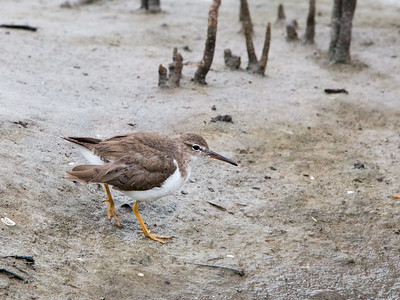 2017-04-12  Spotted Sandpiper