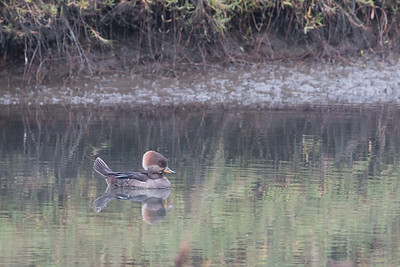 2017-11-26  Hooded Merganser (female)