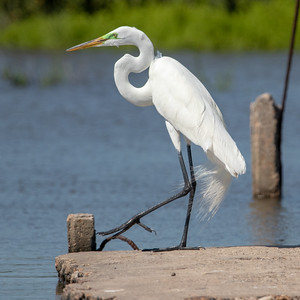2020-04-23  Great Egret