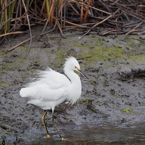 2017-11-26  Snowy Egret