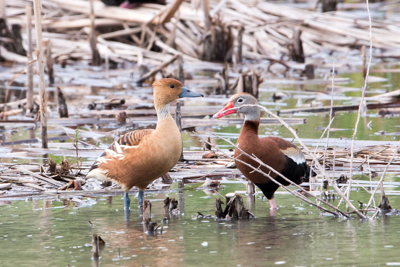 2017-04-14  Fulvous Whistling-Duck and Black-belled Whistling Duck