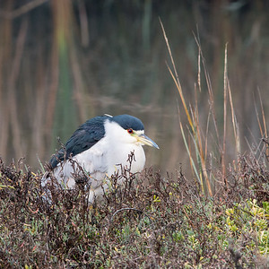 2017-11-26  Black-crowned Night Heron