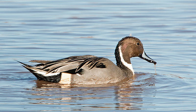 2017-11-19  Northern Pintail