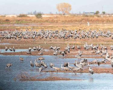2017-11-19  Sandhill Cranes