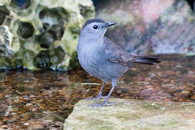 2017-04-13  Gray Catbird