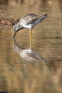 2018-11-11  Long-billed Dowitcher