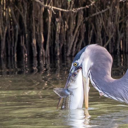 2019-11-11  Great Blue Heron