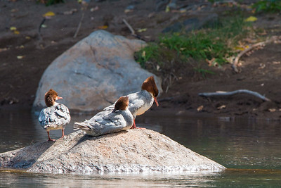 2017-09-16  Common Merganser