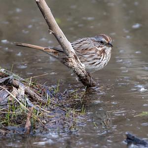 2020-02-02  Song Sparrow