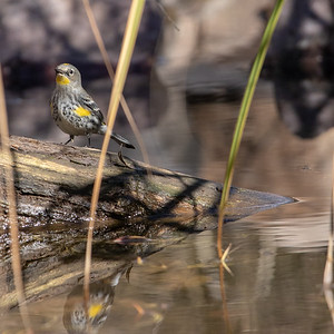 2020-02-02  Yellow-rumped Warbler