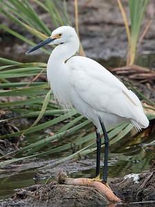 2017-04-12  Snowy Egret