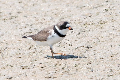 2017-04-15 Semipalmated Plover