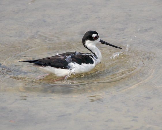 2020-04-22  Black-necked Stilt