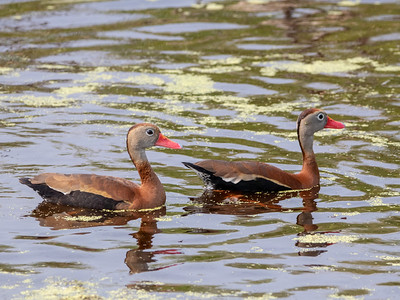2020-04-22  Black-bellied Whistling Duck