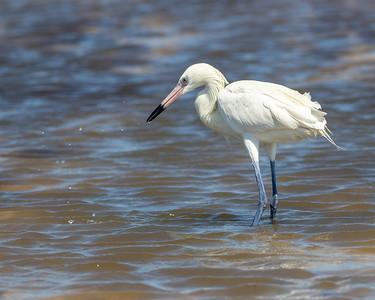 2020-04-23  Reddish Egret (white morph)