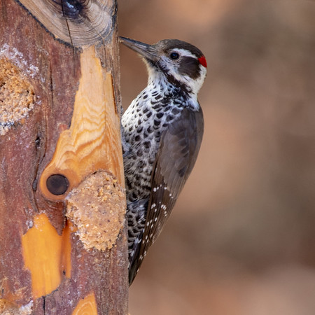 2019-11-16  Arizona Woodpecker (male)
