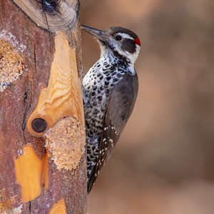2019-11-16  Arizona Woodpecker (male)