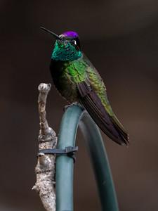 2019-12-28  Rivoli's Hummingbird