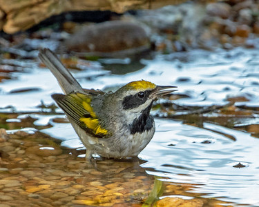 2020-04-23  Golden-winged Warbler