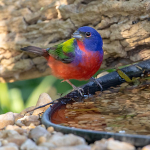 2020-04-23  Painted Bunting