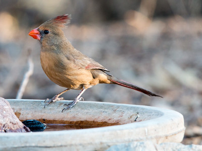 2018-01-28  Northern Cardinal (female)
