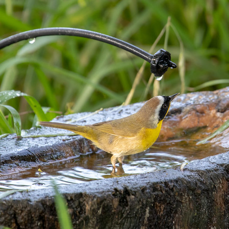2020-04-21  Common Yellowthroat
