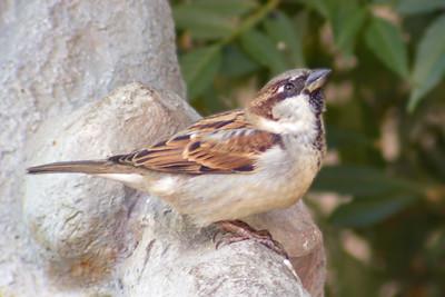2015-11-07  House Sparrow