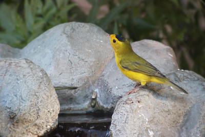 2015-08-30 Wilson's Warbler