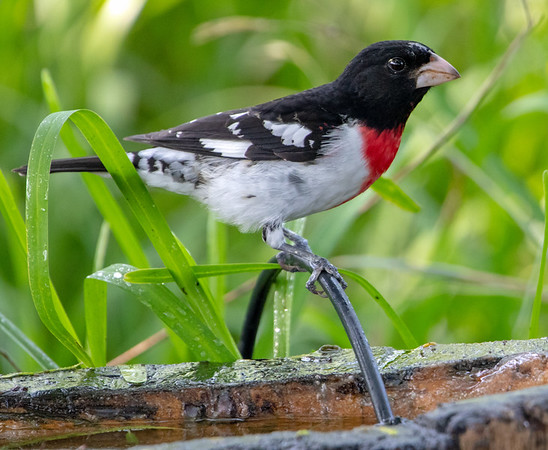 2020-04-19  Rose-breasted Grosbeak