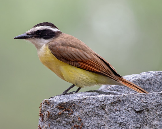 2020-04-23  Great Kiskadee