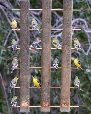 2019-11-16  Lesser Goldfinch