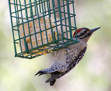 2016-04-16  Ladderback Woodpecker (male)
