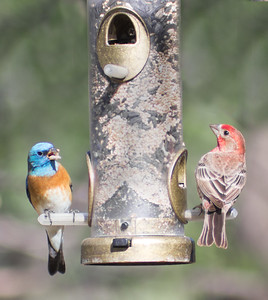 2016-04-16  Lazuli Bunting (male) and House Sparrow (male)